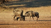 wildebeest : Blue wildebeest (Connochaetes taurinus) in natural habitat, Kalahari desert, South Africa