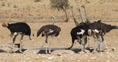 struzzo : Group of ostriches (Struthio camelus) drinking water at a waterhole, Kalahari desert, South Africa
