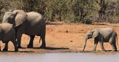 African elephants (Loxodonta africana) at a waterhole, Kruger National Park, South Africa Стоковые видеозаписи