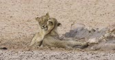 Two African lions (Panthera leo) grooming each other in friendly affection, Kalahari desert, South Africa