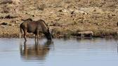 wildebeest : Black wildebeest (Connochaetes gnou) at a waterhole, Mountain Zebra National Park, South Africa