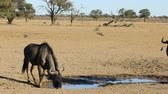 wildebeest : Blue wildebeest (Connochaetes taurinus) drinking water at a waterhole, Kalahari desert, South Africa