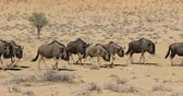 wildebeest : Blue wildebeest (Connochaetes taurinus) walking in a row, Kalahari desert, South Africa