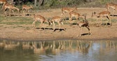 videospiel : Impala antelopes (Aepyceros melampus) at a waterhole, Mkuze game reserve, South Africa