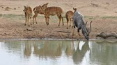 videospiel : Small herd of nyala antelopes (Tragelaphus angasii) at a waterhole, Mkuze game reserve, South Africa Videos