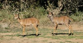 videospiel : Two young Nyala antelopes (Tragelaphus angasii) in natural habitat, Mkuze game reserve, South Africa