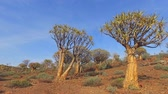 aloés : Panning landscape view of quiver trees (Aloe dichotoma), Northern Cape, South Africa