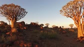 aloés : Landscape view of quiver trees (Aloe dichotoma) at sunset, Namibia, southern Africa Vídeos