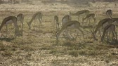 кормление : Herd of springbok antelopes (Antidorcas marsupialis) grazing early morning, Kalahari desert, South Africa