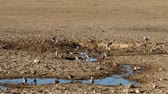 Time lapse of Cape turtle doves (Streptopelia capicola) visiting a waterhole, Kalahari desert, South Africa Stock Footage