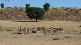 Time lapse of springbok antelopes and blue wildebeest visiting a waterhole, Kalahari desert, South Africa Стоковые видеозаписи