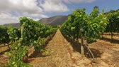 Landscape of a lush vineyard against a backdrop of mountains, Western Cape, South Africa