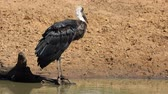 Woolly-necked stork (Ciconia episcopus) preening in natural habitat, South Africa Стоковые видеозаписи