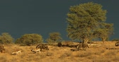 wildebeest : Wildebeest and springbok against a dark sky of an approaching storm, Kalahari desert, South Africa Stock Footage