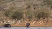 Hippos, plains zebras and impala antelopes at a natural dam, Kruger National Park, South Africa