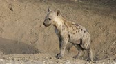 A young spotted hyena (Crocuta crocuta) in natural habitat, Kruger National Park, South Africa