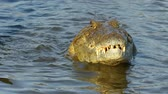 krokodyl : Nile crocodile (Crocodylus niloticus) catching and eating a small fish, Kruger National Park, South Africa