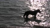 Dog relaxing in the sea. Stok Video