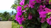 A Pink Flowers of Bougainvillea Tree in the Park