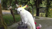 Yellow-crested Cockatoo eating Park Stok Video