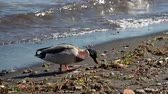 finding : A duck is searching for food on the shore of Bracciano lake, near Rome, Italy, in a sunny winter day
