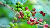 red coffee cherries : Closeup Ripe Coffee cherries beans on a coffea tree branch