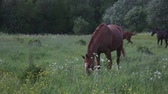 cval : Horses has fun and eat grass on the summer pasture
