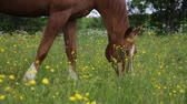 kuş sürüsü : Horse eats grass and snorts on the summer pasture