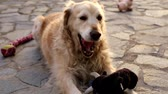 dog : Golden Retriever dog playing outdoors With Their dolls Stock mozgókép