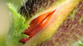 vagão : Macro shot of poppy flower head opening Stock Footage