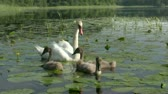 summer : Family of swans - femail parent and  cygnets  swimming on wild pond Stock Footage