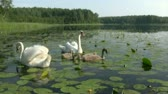 summer : Family of swans - both parents and three cygnets  swimming on wild pond