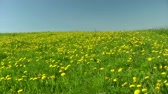 blossom : Summer field of dandelions on blue sky background