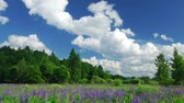 lupine : Summer in the woods, time lapse shot Stock Footage