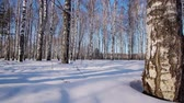 осина : Slider shot of trunks of birch trees in winter forest