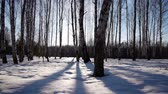 осина : Slider shot of sunrise in the winter forest