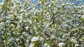 мед : Panoramic video shot of blossoming apple fruit trees in orchard in springtime