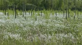 болото : Blooming white flowers in spring swamp on forest background
