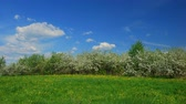 pampeliška : Time lapse shot of blossoming apple fruit trees in orchard in springtime