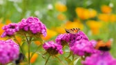 opylení : Shot of butterfly pollinates pink flower on green background