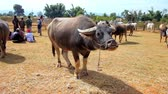 inlay : HEHO, MYANMAR - FEBRUARY 19, 2018: The cattle fair is local tourist attraction, people watch buffalos and zebu cows, guarded by the shepherds, on February 19 in Heho. Stock Footage