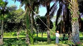 yangon : YANGON, MYANMAR - FEBRUARY 17, 2018:  The worker of Theingottara park cuts the branches of a palm tree with telescopic pole, on February 17 in Yangon.