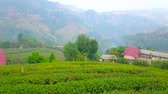 agricultura : Panoramic view of foggy rural mountain landscape with tea plantation of Mae Salong Chinese Yunnan tea village, Chiang Rai, Thailand Stock Footage