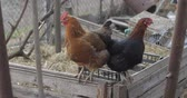 петух : Two Chickens in the yard. Black and brown chicken in village. Стоковые видеозаписи