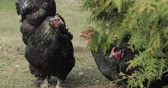 fumier : Chickens in the yard near tree. Black chicken in village. Funny animals