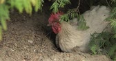 fumier : Rooster in the yard near tree. Close-up shot. White rooster in village.