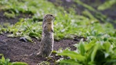 bashkortostan : fluffy gopher crawled out of the hole. cute gopher sitting on a green meadow on a Sunny day