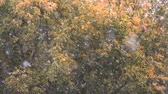 bare forest : Slow motion shot of autumn snowfall on the background of faded trees with few dry leaves