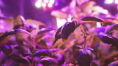 podsvícení : Growing plant seedlings and artificial lighting. Lamp for plant growth without the sun. The color is pink or purple.