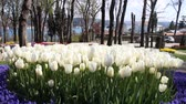 tulip : White Tulips in front of the Bosphorus